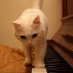 gatto pianista